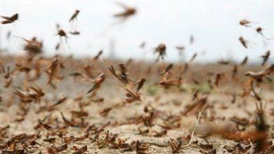 صورة وزارة الزراعة: مستمرون بمكافحة الموجات المتتالية من الجراد