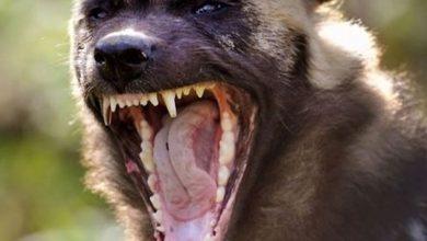 صورة حيوان مفترس يثير الرعب في عين قنيا – حاصبيا!